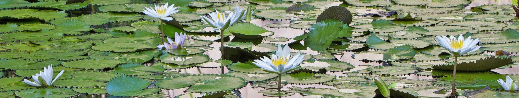 Lotus Flower Pool Header