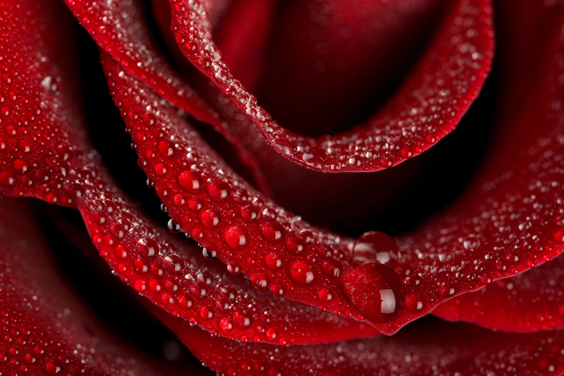 red rose sparkling with water droplets